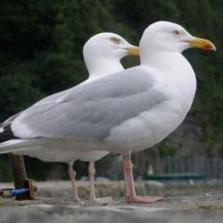 doi pescarusi