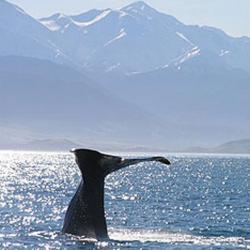 observarea balenelor