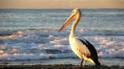 pelicanul Gogu