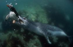 pinguin si foca