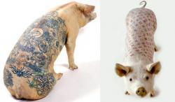 porci tatuati