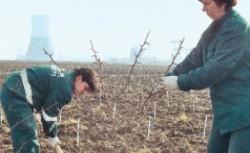 puieti plantati