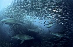 rechini si banc de pesti