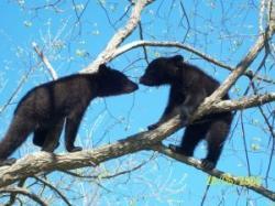 ursi in copac