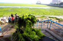 combustibil din alge