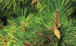 frunze de pin