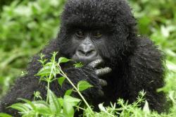 gorila supravietuitoare