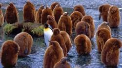 pinguin si puii