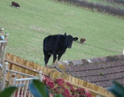 vaca pe acoperis