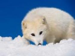 vulpe polara
