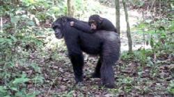 Cimpanzeul Freddy