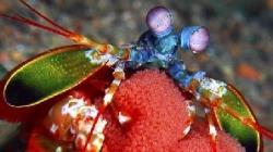 creveta colorata