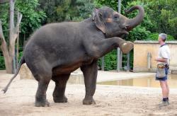 elefant inainte de nastere