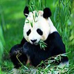 expozitie ursi Panda