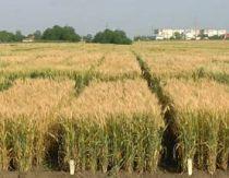 Raport 1996-2012: Biotehnologia continua sa ofere fermierilor beneficii economice majore