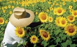 Floarea soarelui a înflorit pentru a doua oara
