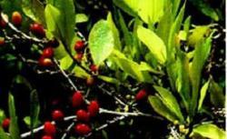 frunze de coca