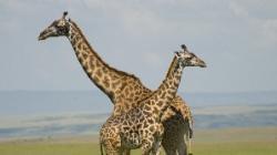 girafe moarte