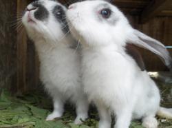iepuri modificati genetic