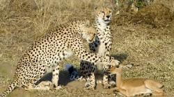 impala gheparzi