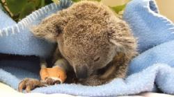 Koala Doug