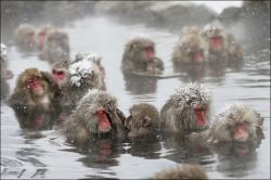 macacii japonezi