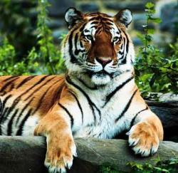 tigru mancat