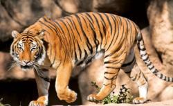 tigrul de Bengal