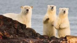 ursii polari migreaza