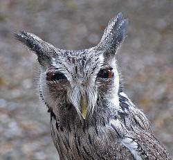 Ciuful de padure (Asio Otus)