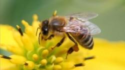 UE a interzis un pesticid d?un?tor albinelor produs de gigantul german BASF