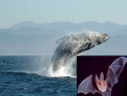 balena-liliac