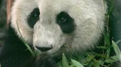 Panda Mei Lan
