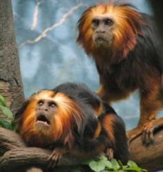 primate pe cale de disparitie