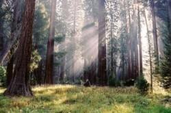 Mai mul?i arbori Sequoia clona?i vor fi planta?i în Europa ?i Australia