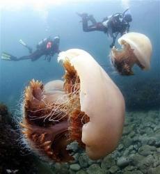 Meduzele invadeaza oceanul si pun in pericol economia si vietile oamenilor