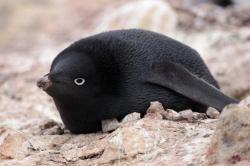 pinguin negru