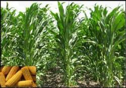 Americanii de la Monsanto acoperă 11% din suprafaţa însămânţată cu porumb a României