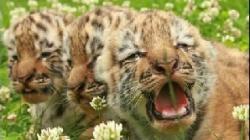 pui de tigru