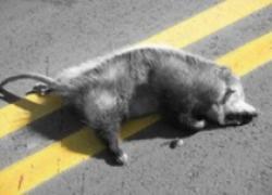 resusciteze un oposum
