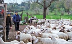 Cainii de la stanele din Muntii Rodnei ataca iezii de capra neagra