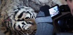 tigrii morti de foame