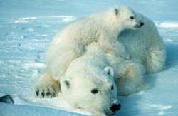 UE nu se pronun?? înc? în problema interzicerii comer?ului cu ur?i polari