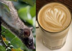 cafea din excremente de pisica