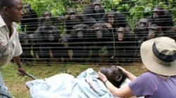 cimpanzeii jelesc moartea