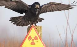 curateania nucleara