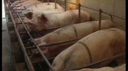 fermele de porci