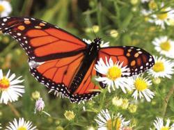 fluturi monarhi