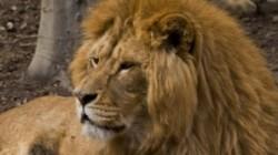 Circa 5.000 de lei sunt crescu?i în ferme speciale din Africa de Sud, numai pentru a fi vâna?i