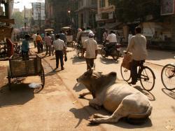 o vaca in India